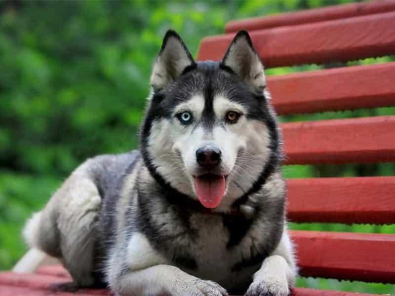 Nhận biết Husky thuần chủng