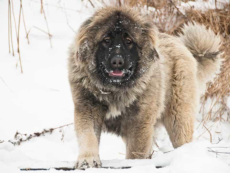 Giống chó nghiệp vụ Caucasus