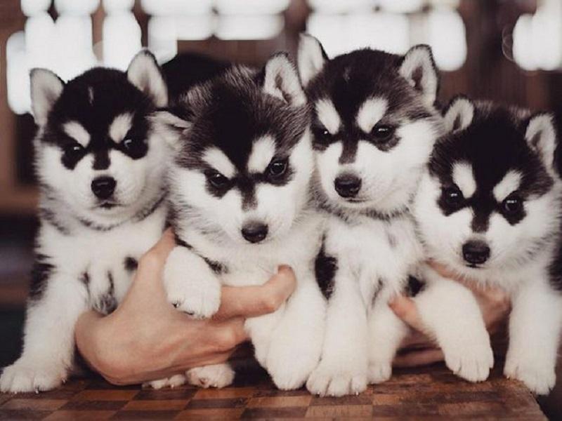 Chăm sóc chó Husky con