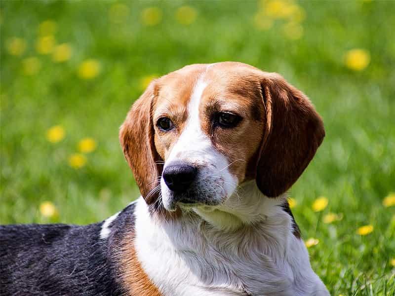 Giống chó Beagle