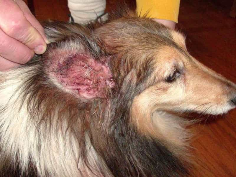 Chó bị viêm tai