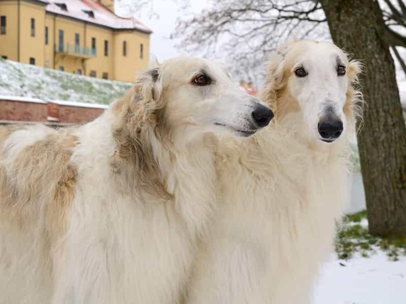 Giống chó quý tộc đẹp và quý giá nhấy