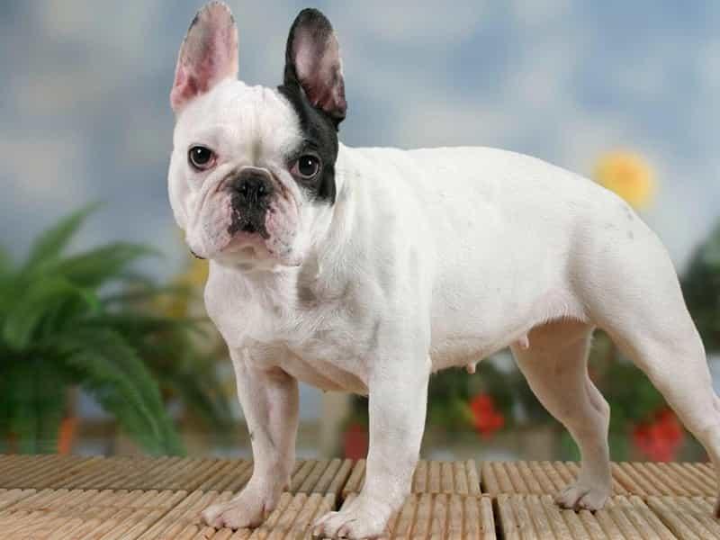 Giống chó cảnh nổi tiếng đến từ nước Pháp