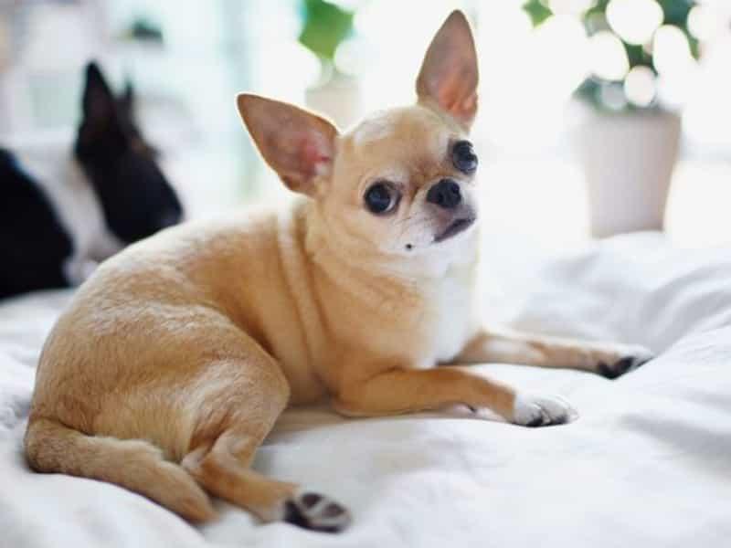 Các giống Chihuahua lai
