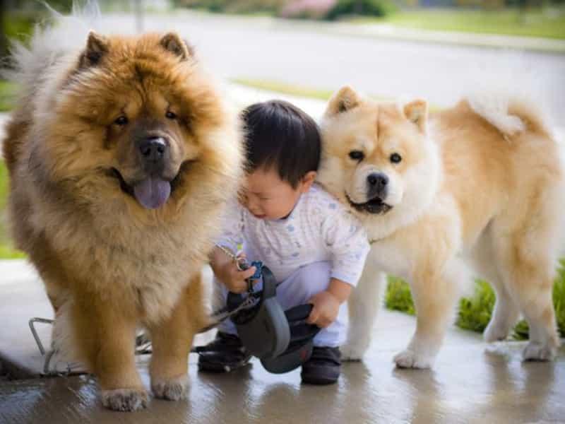 Thông tin về giống chó Chow Chow