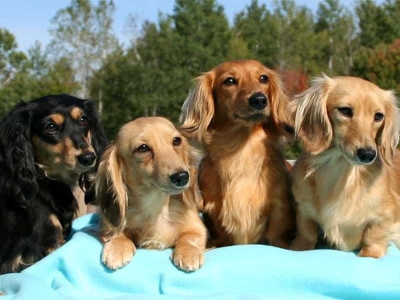Top 7 giống chó tai dài