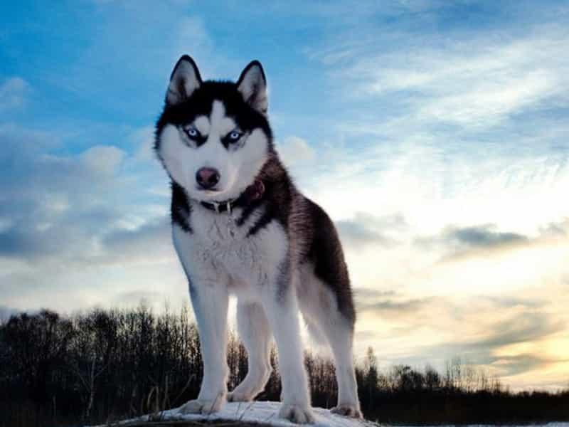 Thông tin về Husky