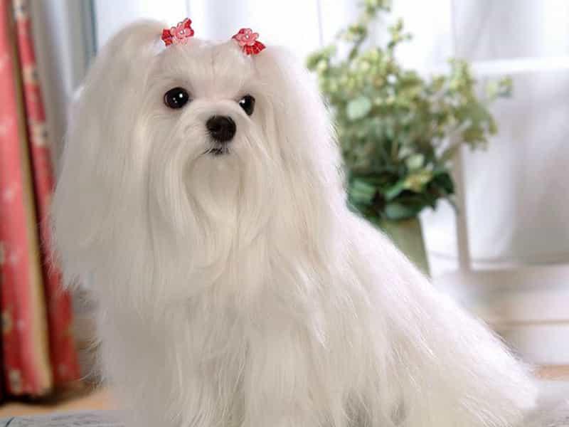 Giống chó quý tộc Maltese