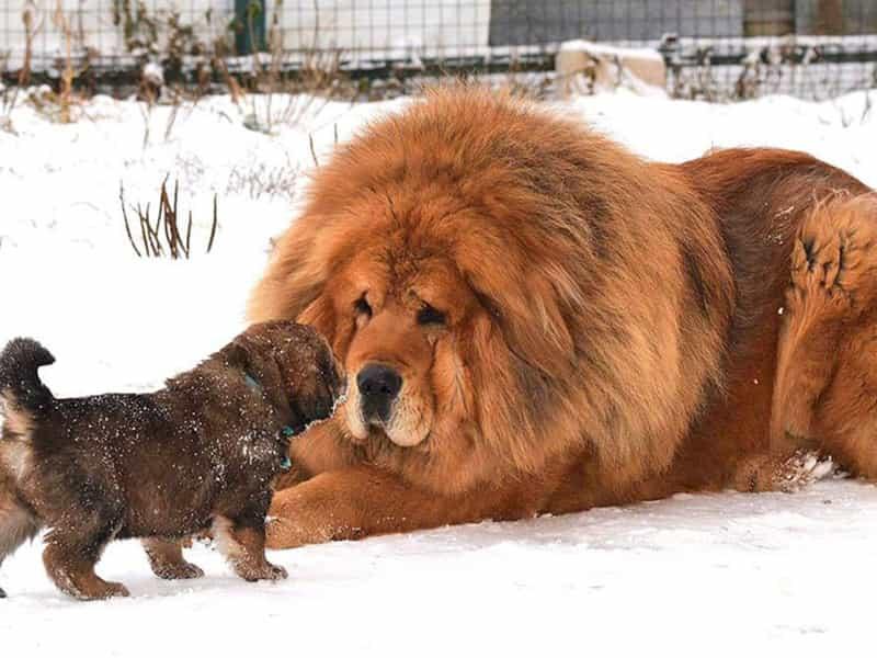 Top 10 giống chó cảnh đắt nhất