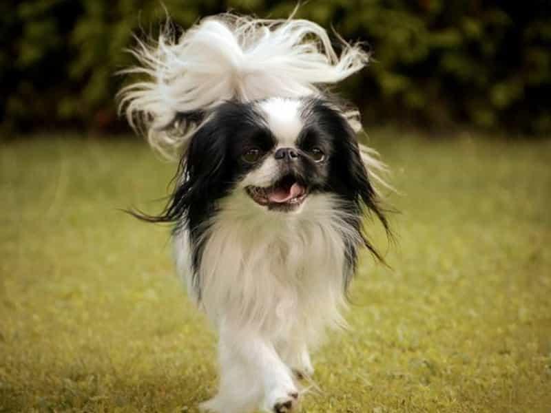 Thông tin về chó Nhật lông xù