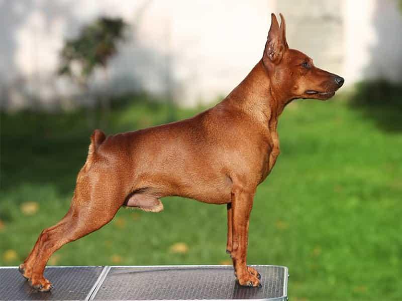 Thông tin về chó Phốc Hươu