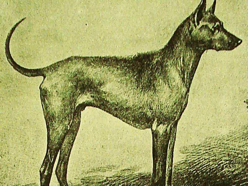 Thông tin về chó Phú Quốc