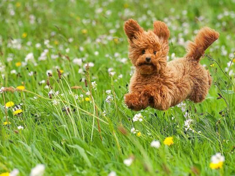 Màu lông chó Poodle