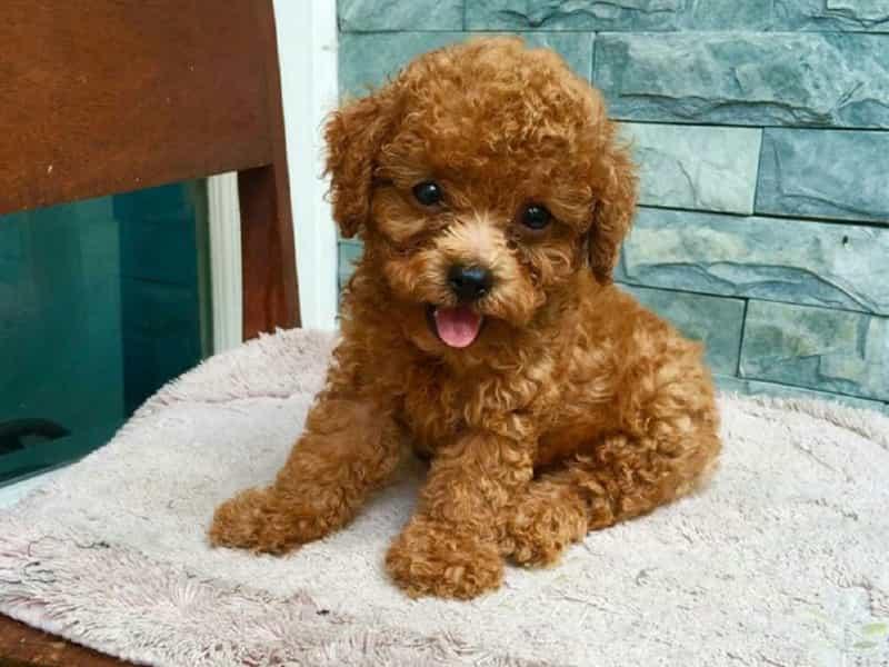 Thông tin về Tiny Poodle