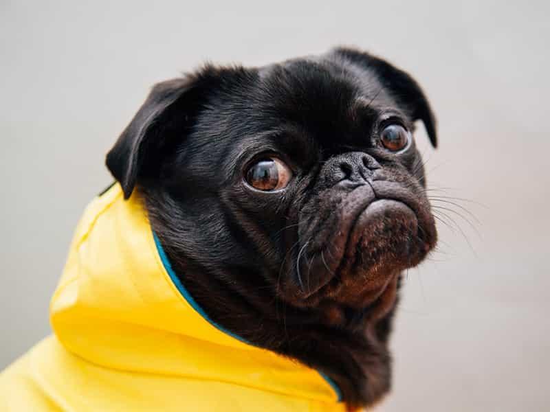 Hình ảnh chó Pug mặt xệ đẹp