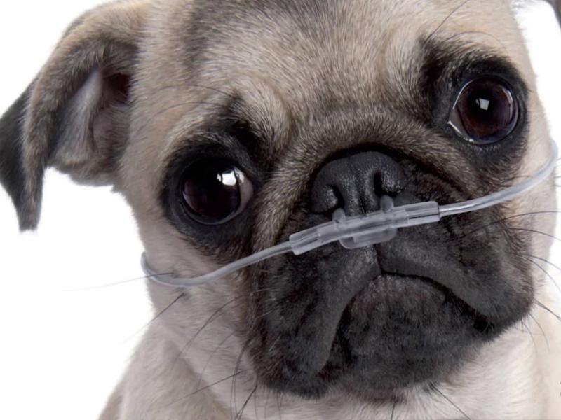 Chó Pug bị khó thở