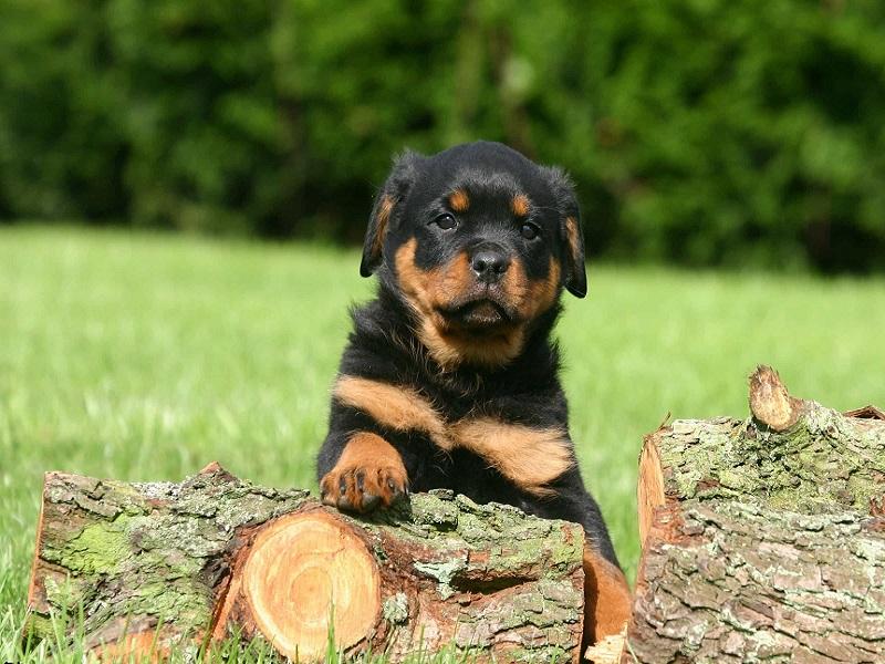 Bảng giá chó Rottweiler