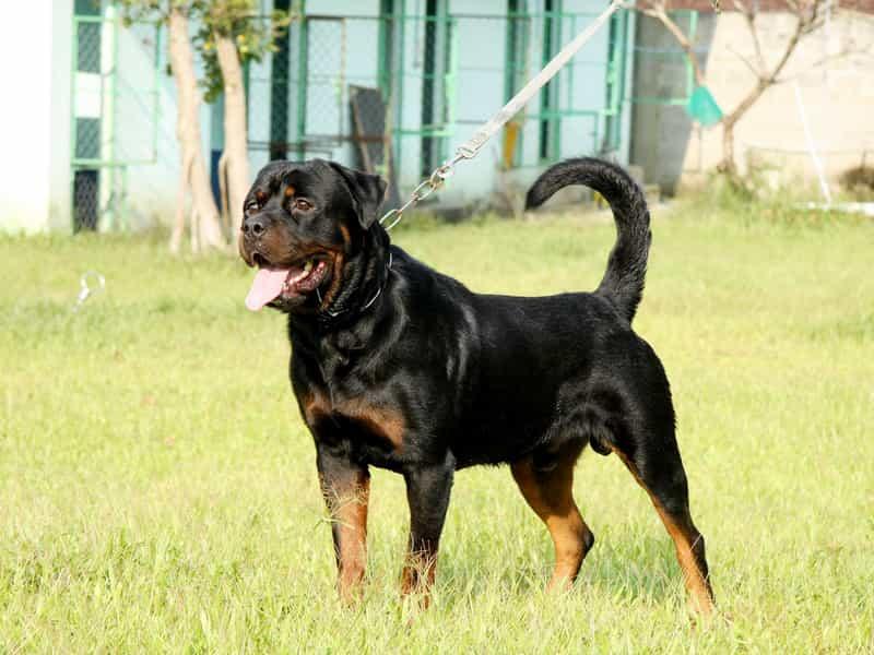 Các giống Rottweiler lai