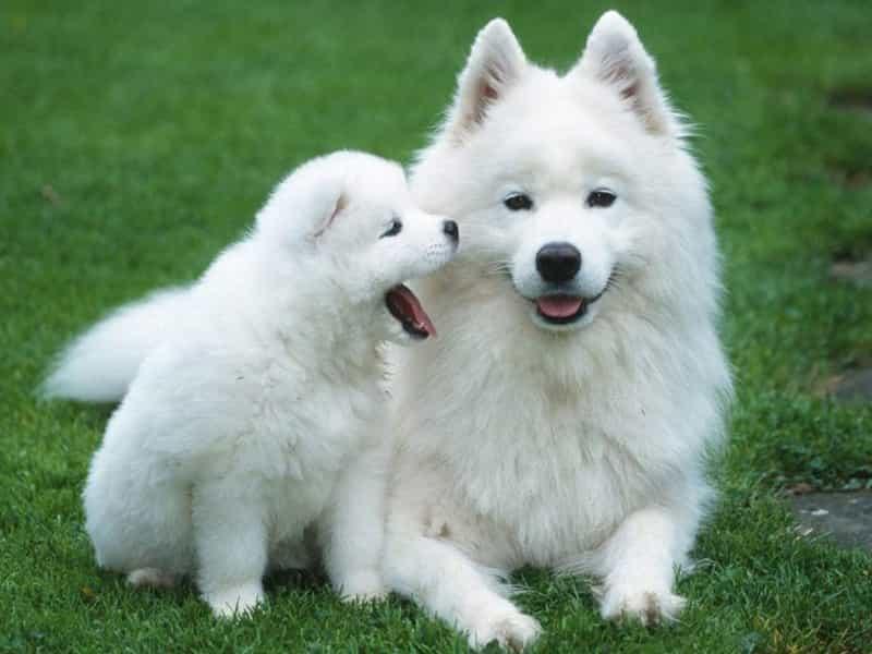 Hình ảnh chó Samoyed dễ thương
