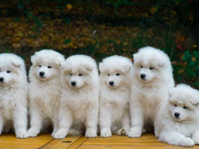 Chăm sóc chó Samoyed hàng ngày
