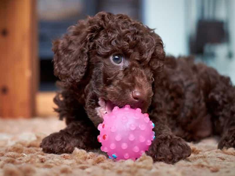 Thông tin về Toy Poodle