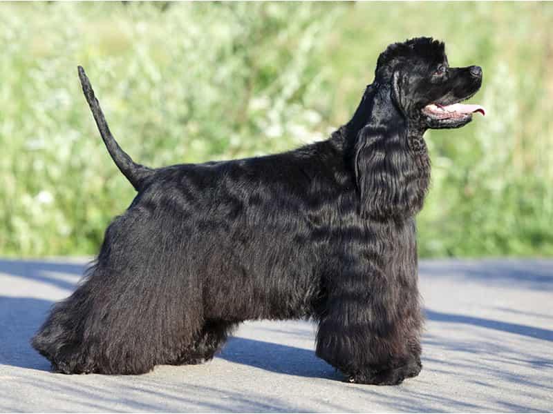 Chó Cocker Mỹ
