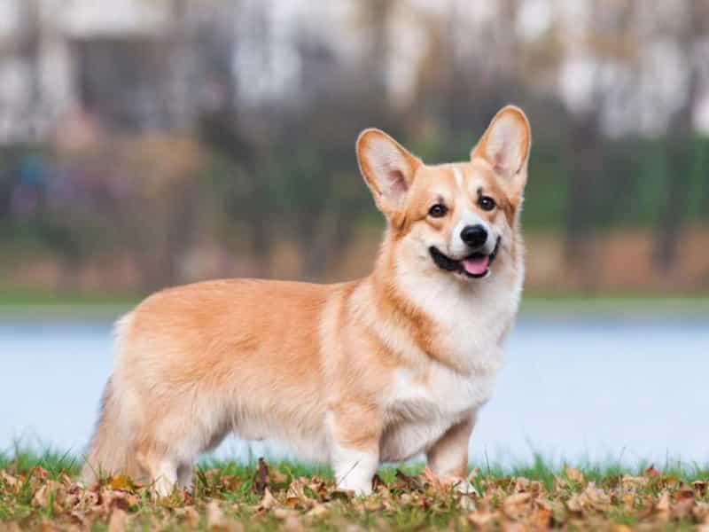 Đặc điểm chó Corgi thuần chủng