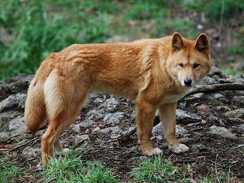 Giống chó Dingo Đông Dương