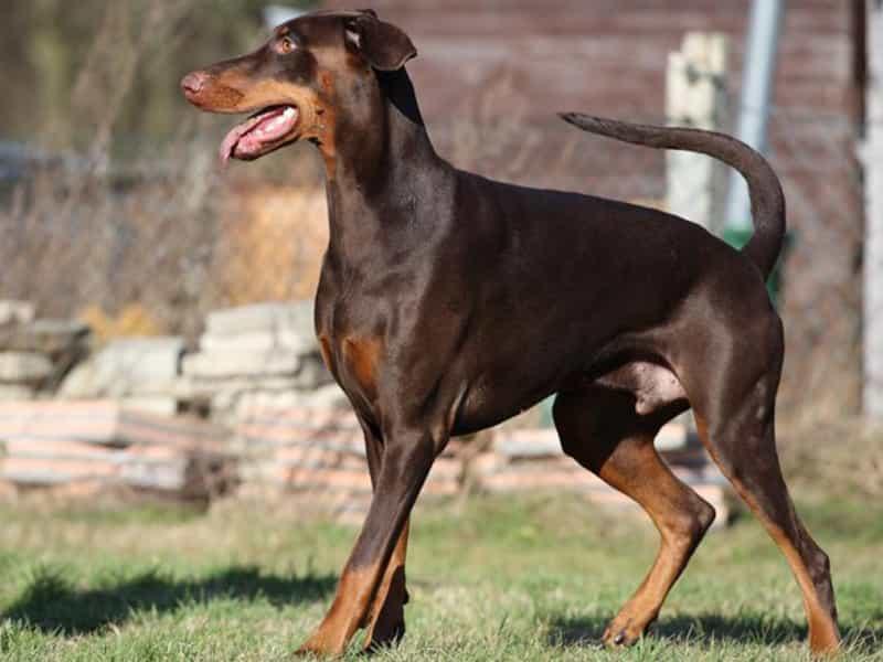 Đặc điểm của chó Doberman