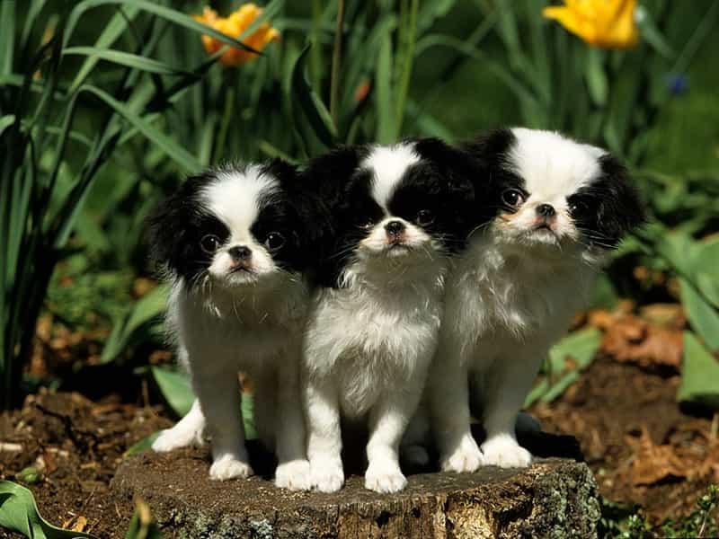 Tìm hiểu về giá chó Nhật lông xù