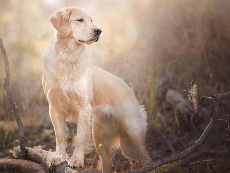 Mua Bán Chó Golden Retriever