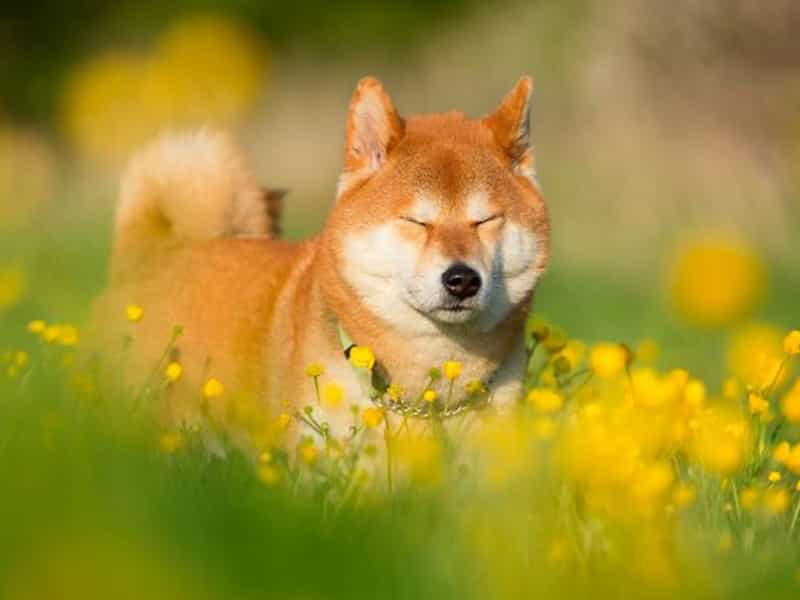 Cách chăn sóc chó Shiba Inu