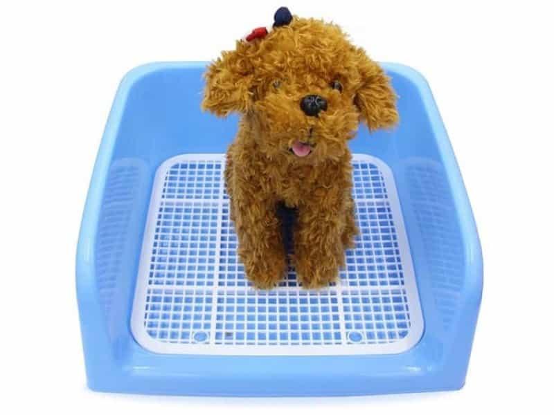 Cách dạy Poodle đi vệ sinh