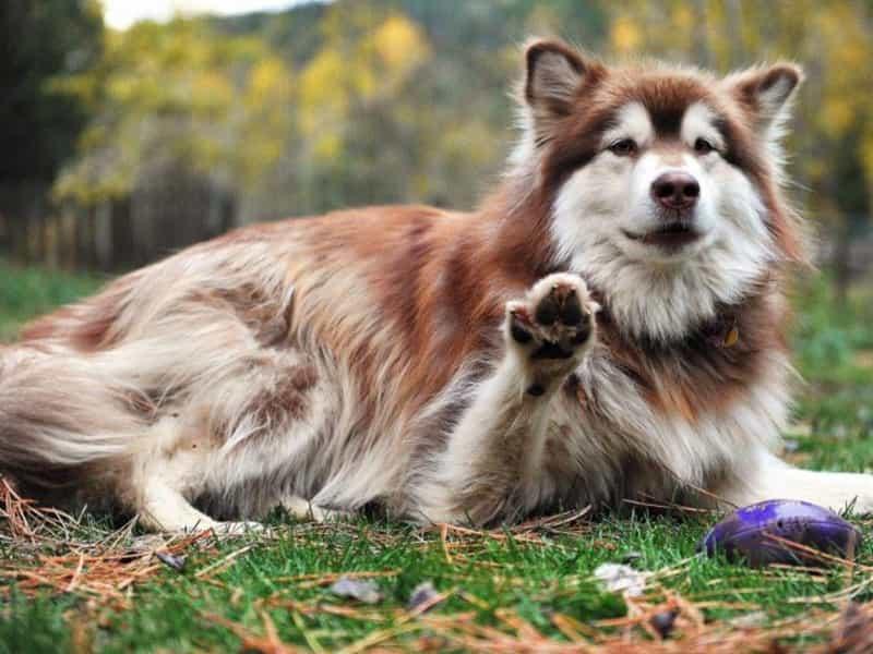 Phối giống chó Alaska