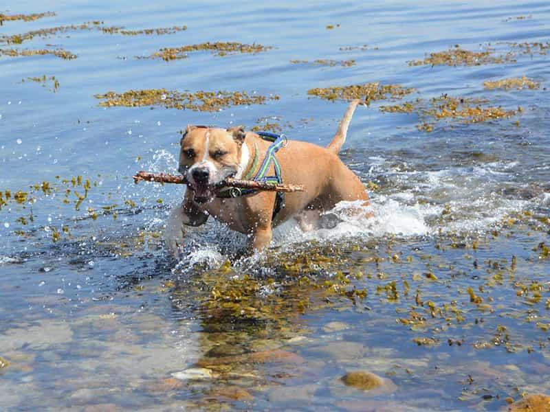 Cách nuôi chó Pitbull