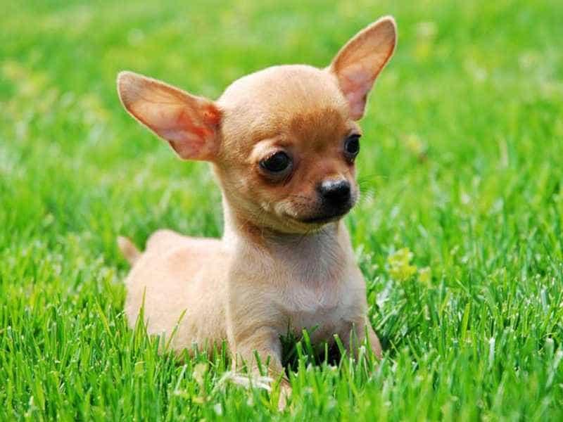 Mua bán chó Chihuahua