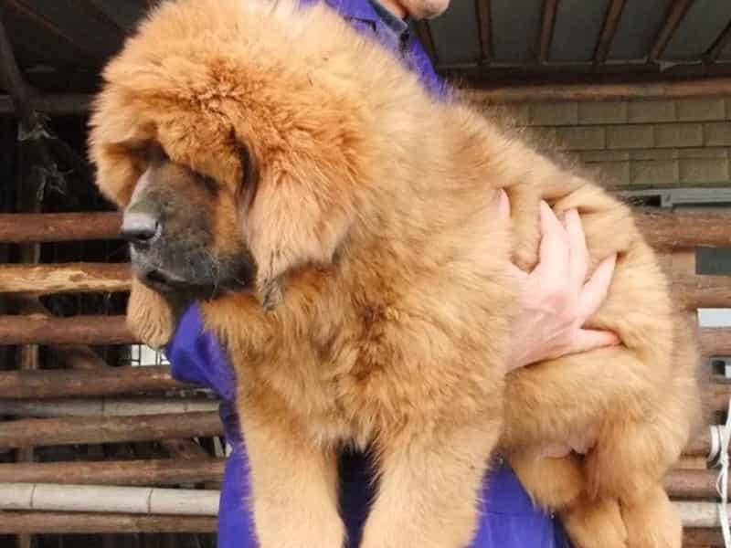 Mua bán chó Ngao Tây Tạng