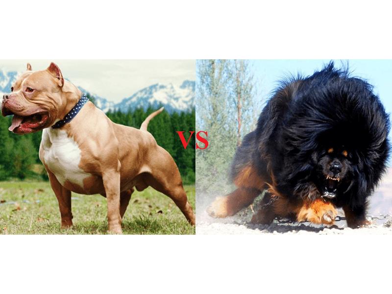 So sánh Ngao Tây Tạng và Bitbull