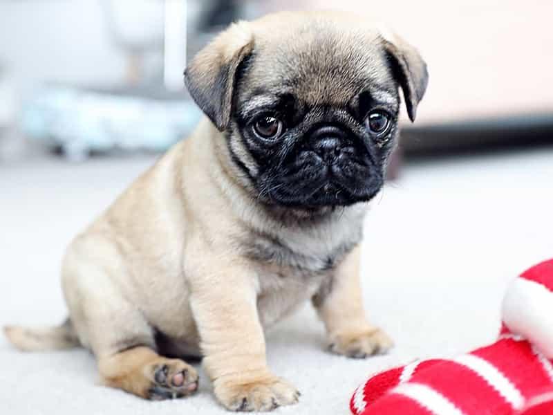Khám phá về giống chó Pug