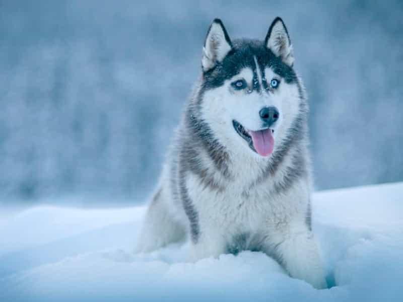Giá chó Husky