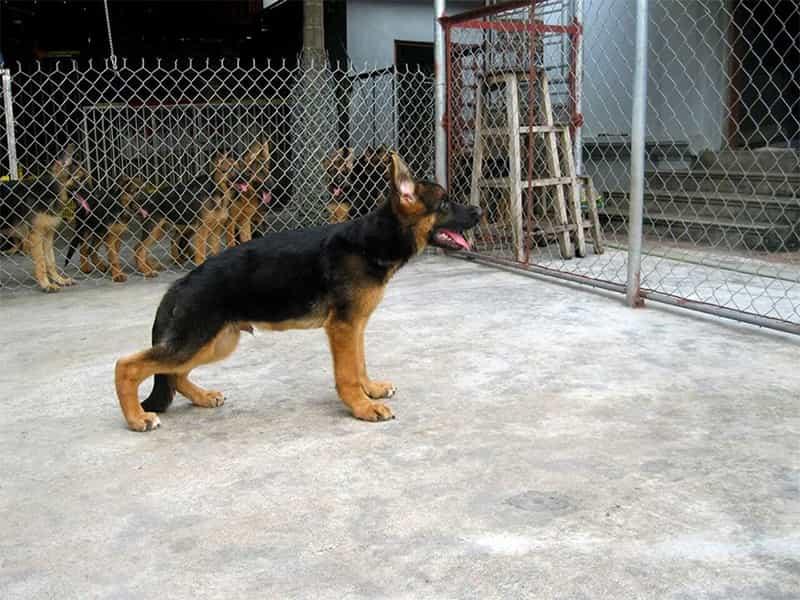 Chó bị yếu 2 chân sau