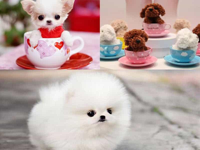 Top 3 giống chó Teacup