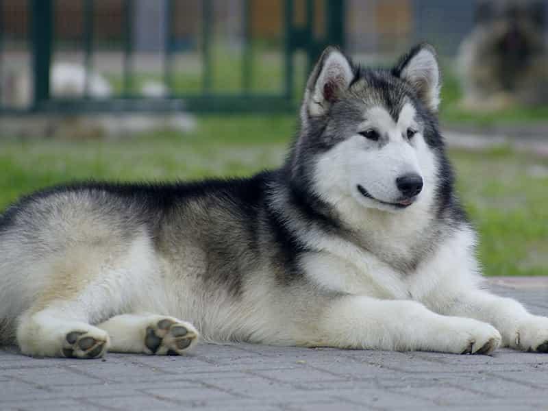 Top 9 giống chó đẹp nhất