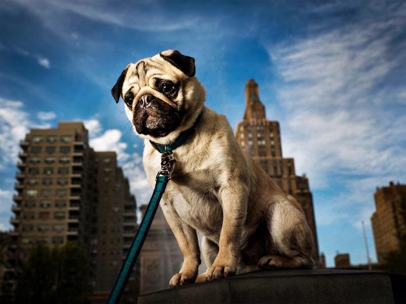 phân biệt Pug và Bulldog