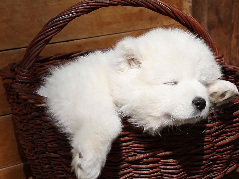 Thông tin về chó Samoyed