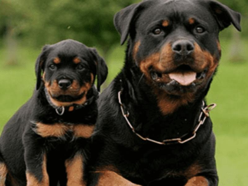 Giải pháp trị Rottweiler bị hôi