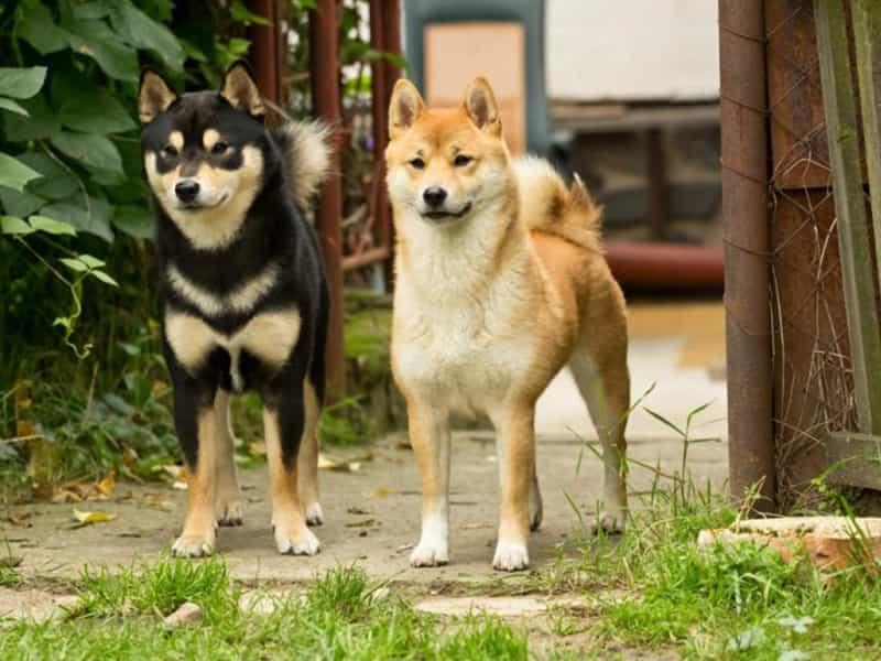 Phân biệt Akita Inu và Shiba Inu
