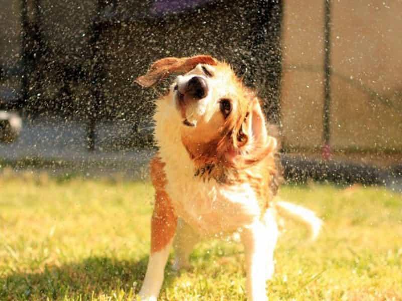 Lưu ý khi tắm cho chó