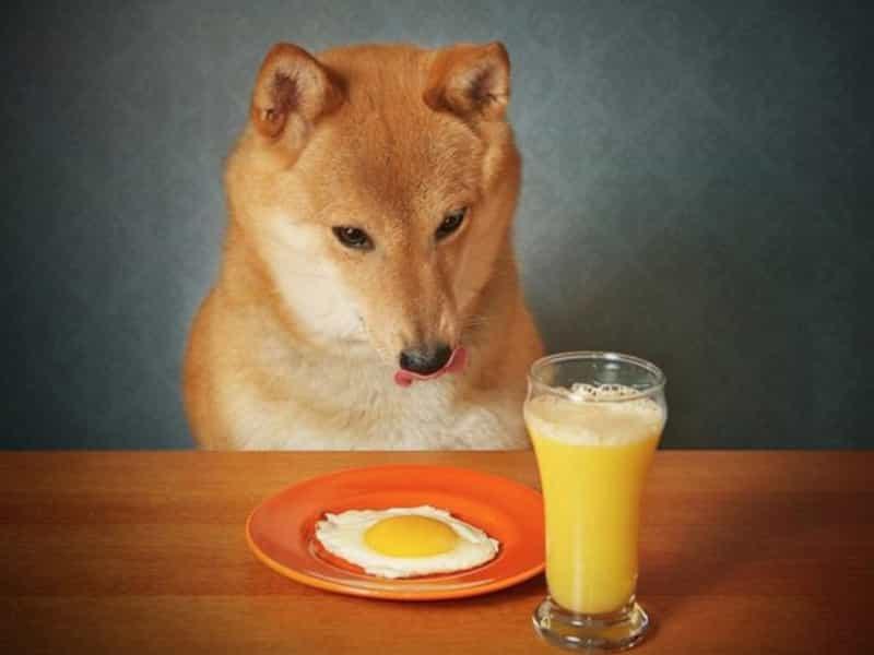 Thức ăn cho Shiba
