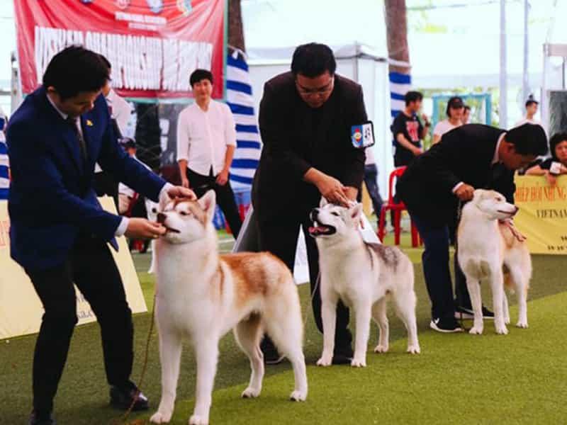 Huấn luyện chó đi thi Dogshow